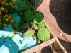 thumbs fruits in laos 3 Фрукты Лаоса (Вьетьян)