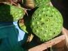 thumbs fruits in laos 4 Фрукты Лаоса (Вьетьян)