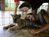 thumbs tiger kingdom 16 Королевство тигров (Tiger Kingdom)