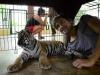 thumbs tiger kingdom 17 Королевство тигров (Tiger Kingdom)