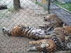 thumbs tiger kingdom 5 Королевство тигров (Tiger Kingdom)